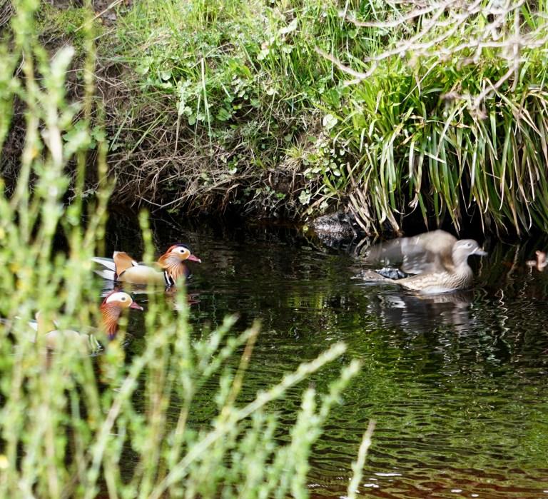Mandarin ducks swimming on a river.