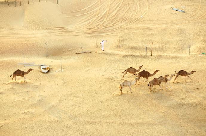 Dubai desert camels mypoppet.com.au
