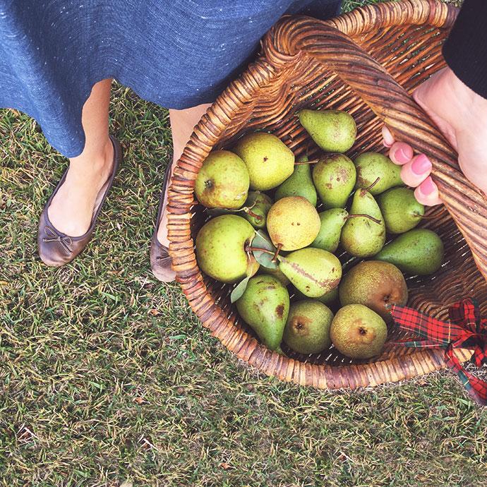 basket full of pears