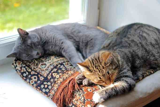 cats-1577580_1920