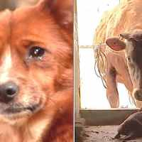 Orphan dog tears up after being reunited with mama cow who raised him when he was a puppy