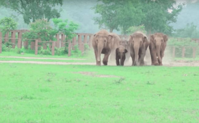 A herd enjoying their walk in an elephant sanctuary