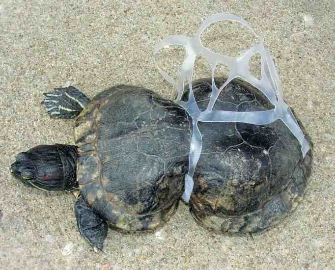 A turtle stuck in a plastic six pack beers ring
