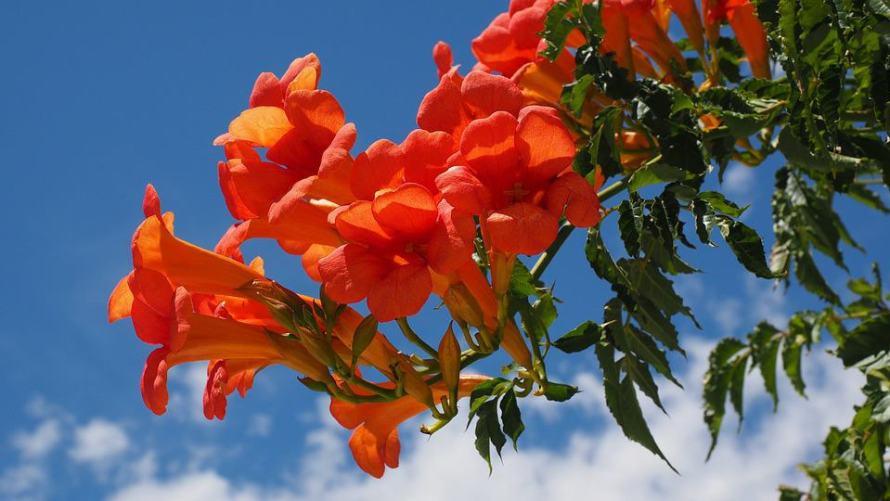 Trumpet Flower