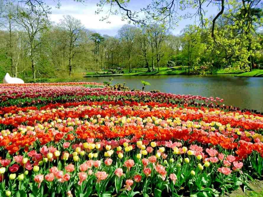 Tulip_Hà_Lan_8