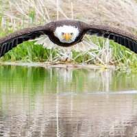 Photographer captures stunning image of bald eagle with symmetrical reflection