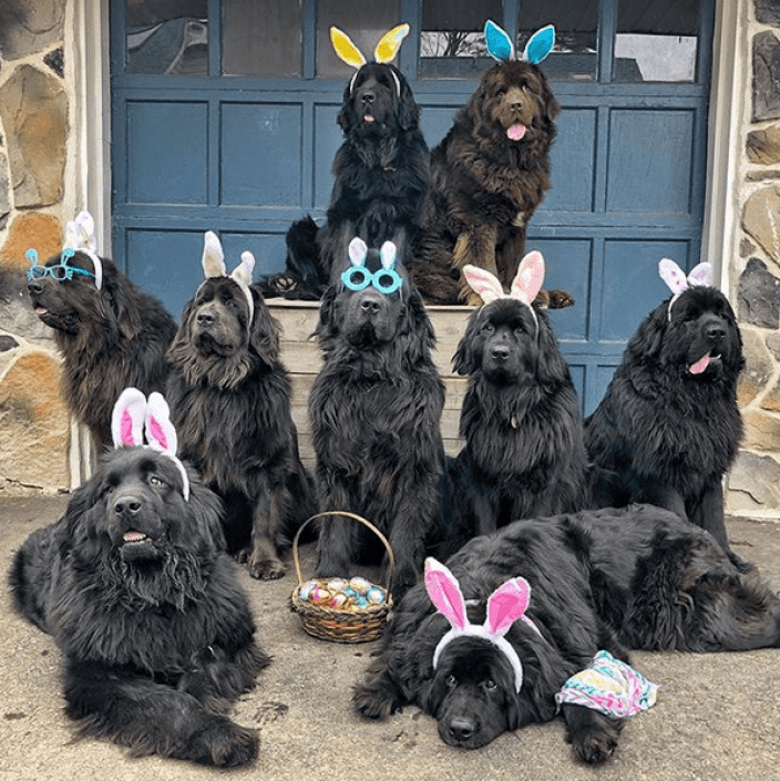 Image result for This woman lives with 9 fluffy Newfoundlands