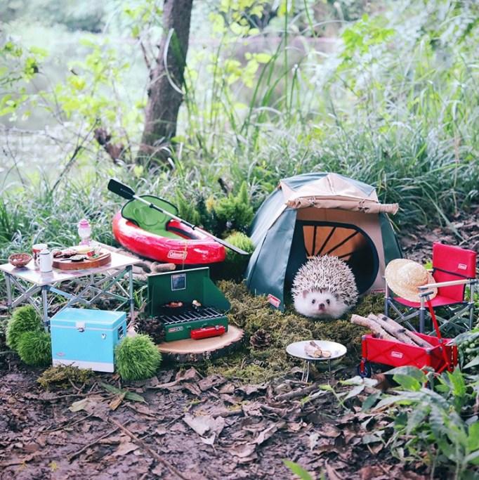 azuki-camping-hedgehog-1