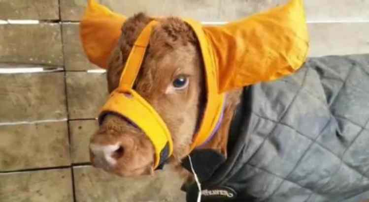 farmers keep their calves safe