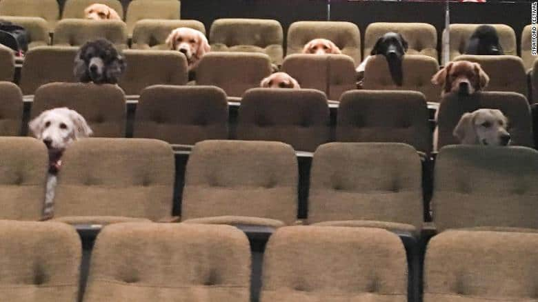 Service dogs watching a live musical