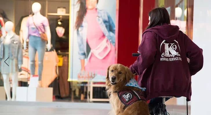 Training a future service dog