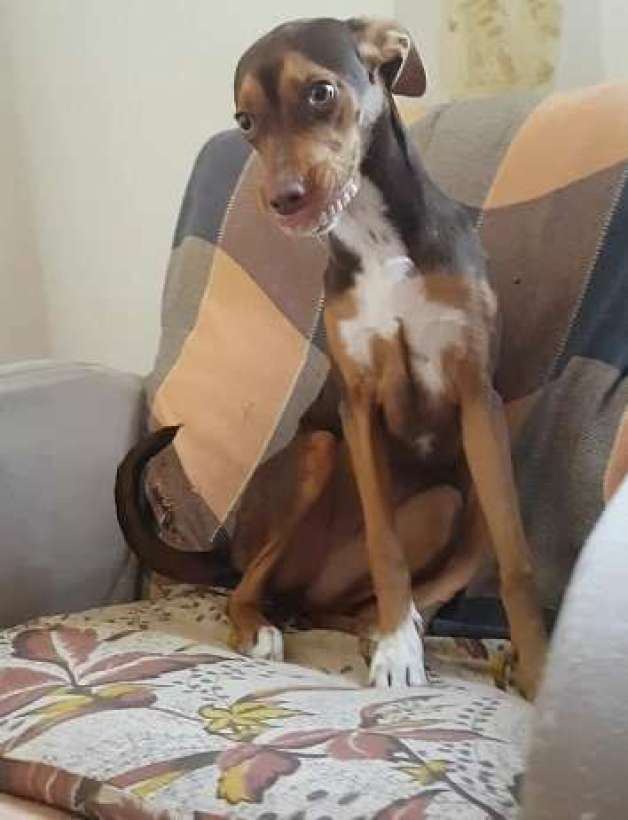 dog wearing dentures