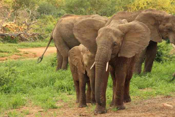Elephants in the wildlife are known for their good memory.