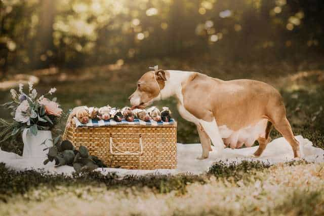 cute maternity photos of a momma pit bull