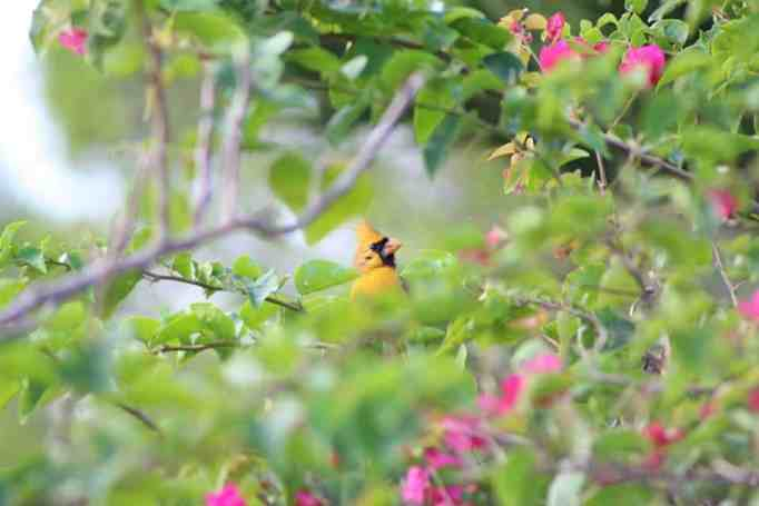 A one-in-a-million yellow cardinal bird.