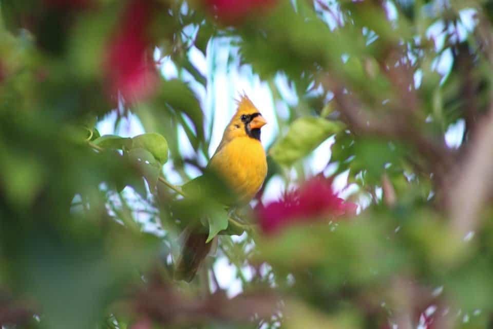 Yellow cardinal bird.