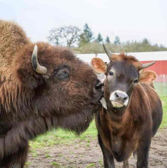 Animals bonding in a farm sanctuary.