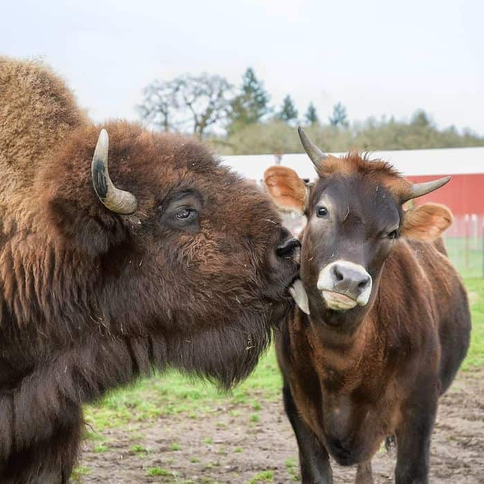 Animals bonding in a farm sanctuary.