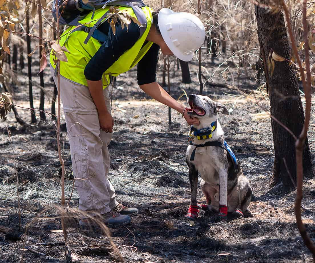 Border collie helping find koalas after fires.