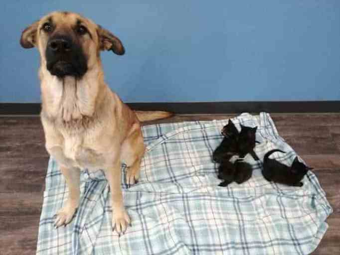 Amazing dog the orphaned kittens he protected.