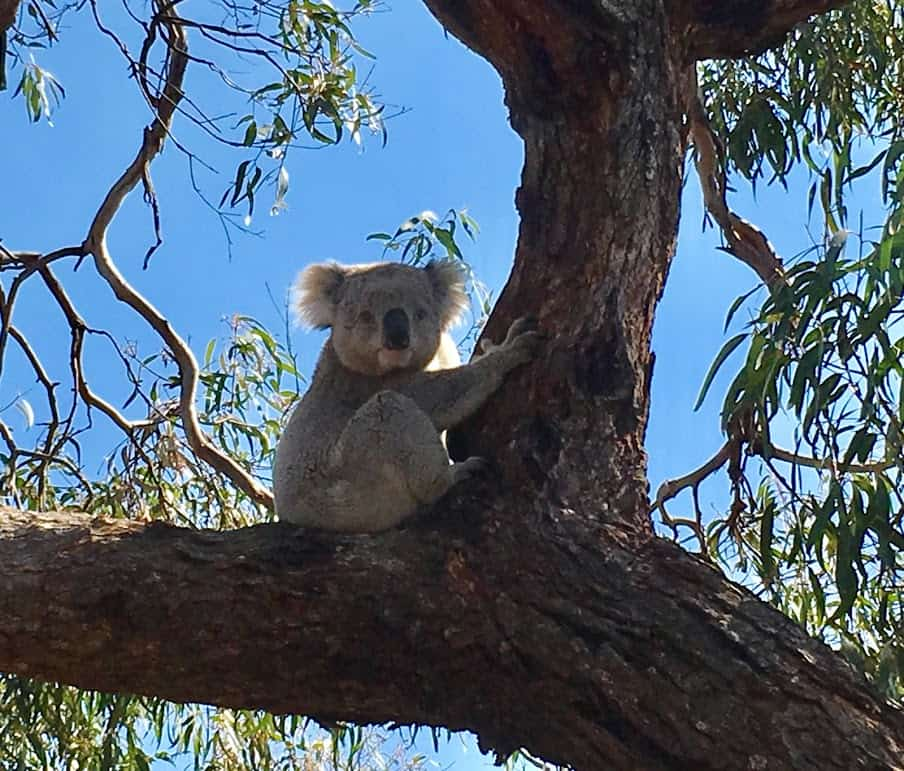 Hunter Being Hailed A Hero After Saving Nine Koalas From