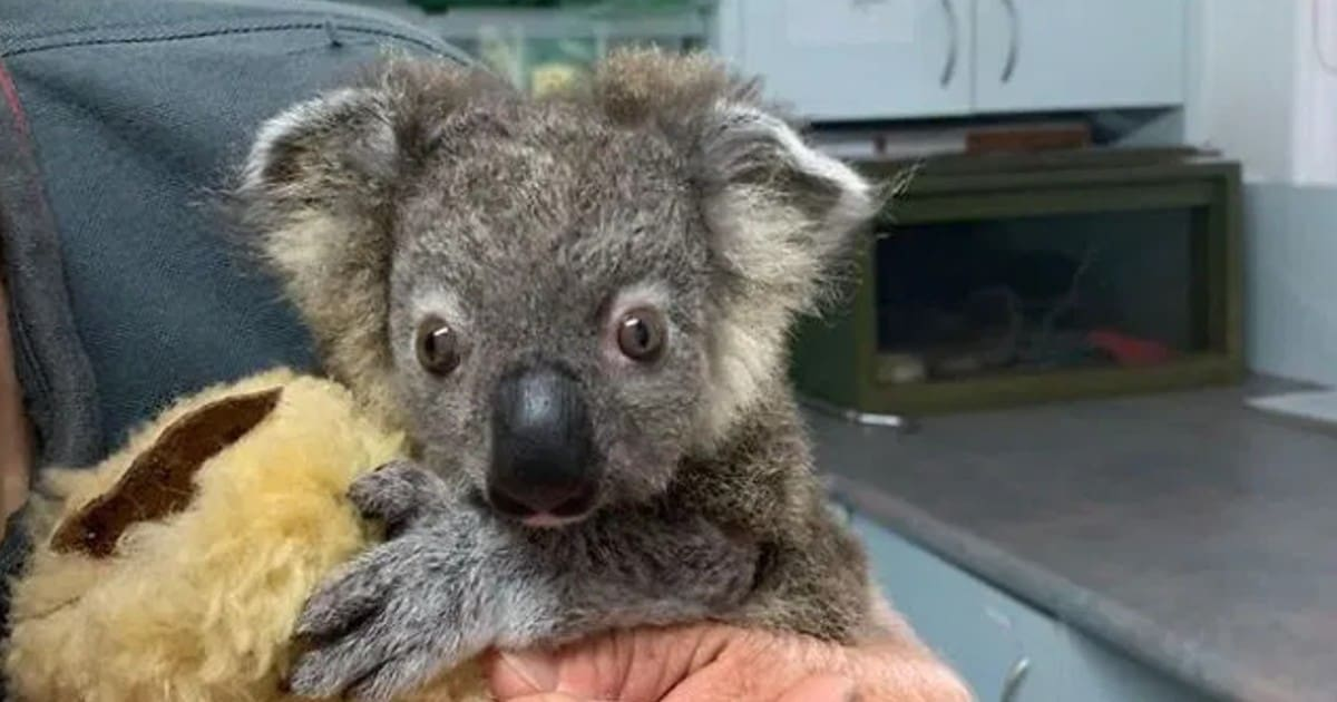 Baby koala is in the process of incredible recovery, thanks to the dog who saved him - my positive outlooks