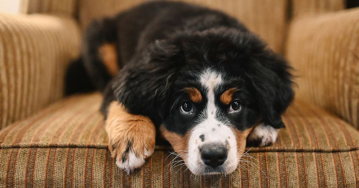 Funeral home enlists Bernese mountain pup to serve as grief therapy dog to comfort families - my positive outlooks