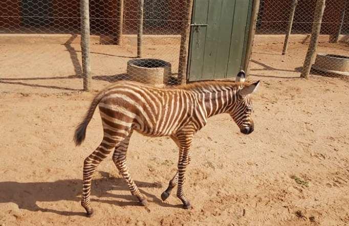 Baby zebra foal