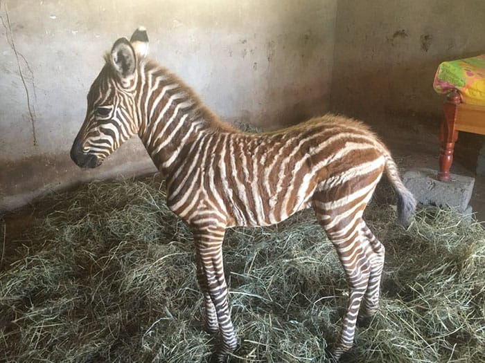 Baby zebra foal at the animal shelter
