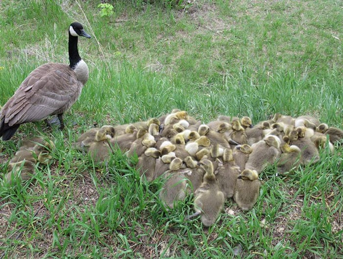 Canadian goose looks after 47 adorable goslings with her mate.