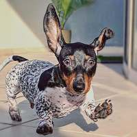 Meet Moo, a mini dachshund who is a certified head-turner for looking half Dalmatian
