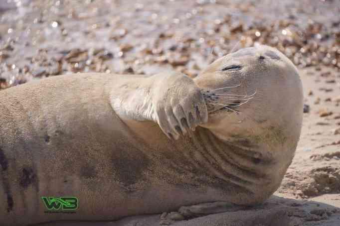 Sammy the seal at Weymouth beach