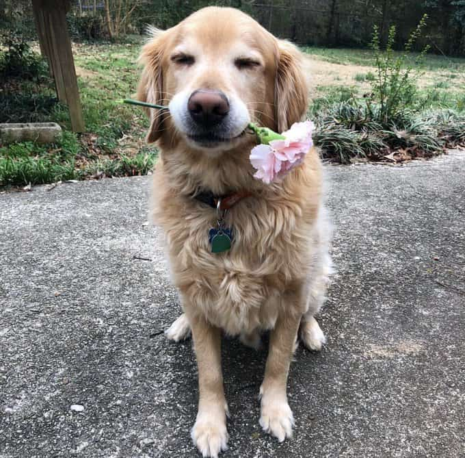 Charlie the Golden retriever holding a flower in his mouth