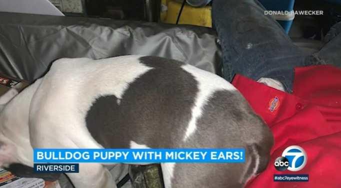 Hidden Mickey on bulldog puppy's back