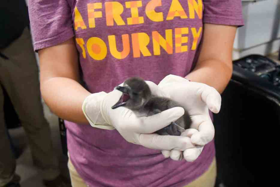 African penguin chick in Maryland Zoo