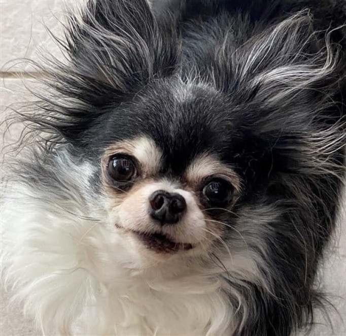 MacKenzie the Chihuahua
