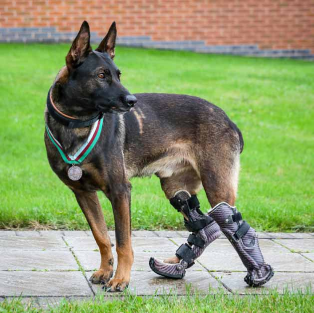 Hero dog with amputated legs