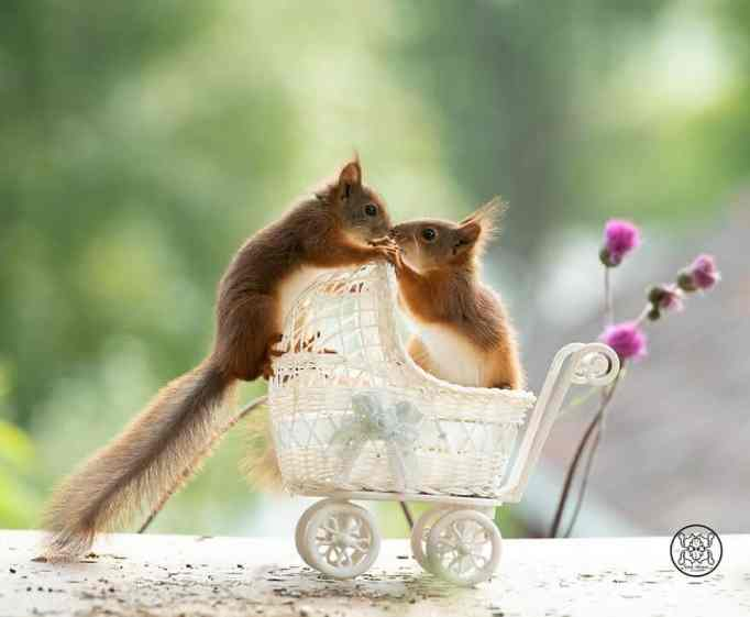 Two squirrels kissing while riding a mini stroller