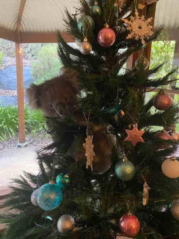 A wild koala perched onto a Christmas tree