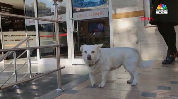 A small white dog waiting outside a hospital for her owner