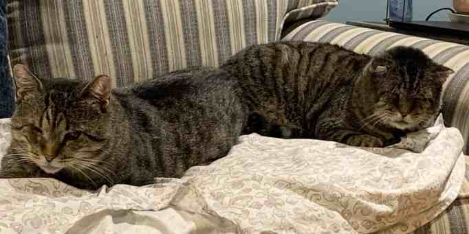 Two old tabby cats resting beside each other