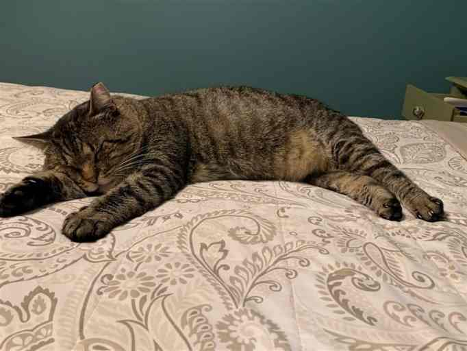 An old tabby lying on a bed