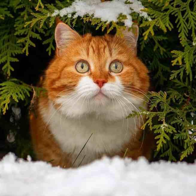 Ginger the snow-loving cat