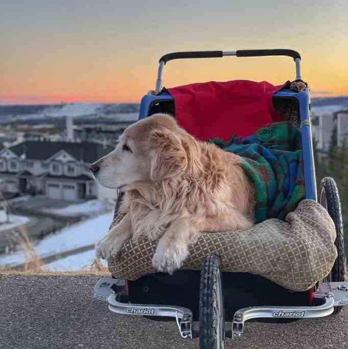 A Golden Retriever on his chariot