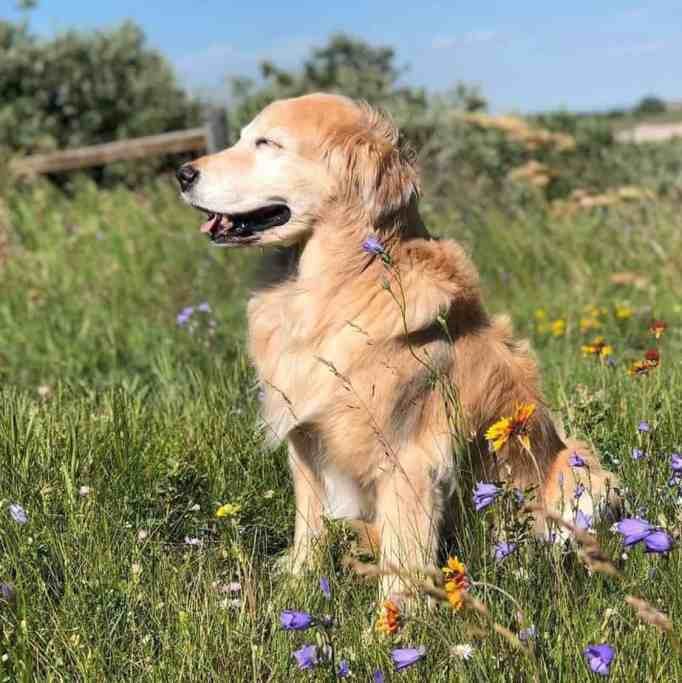 A Golden Retriever with his eyes closed sitting on a grassy and flowery terrain