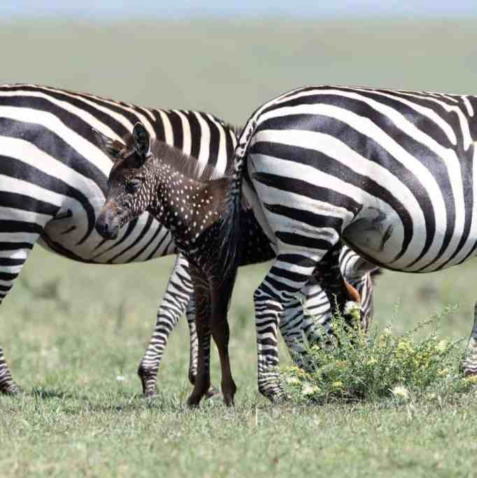A rare polka-dotted zebra foal in Kenya with other normally striped adult zebras