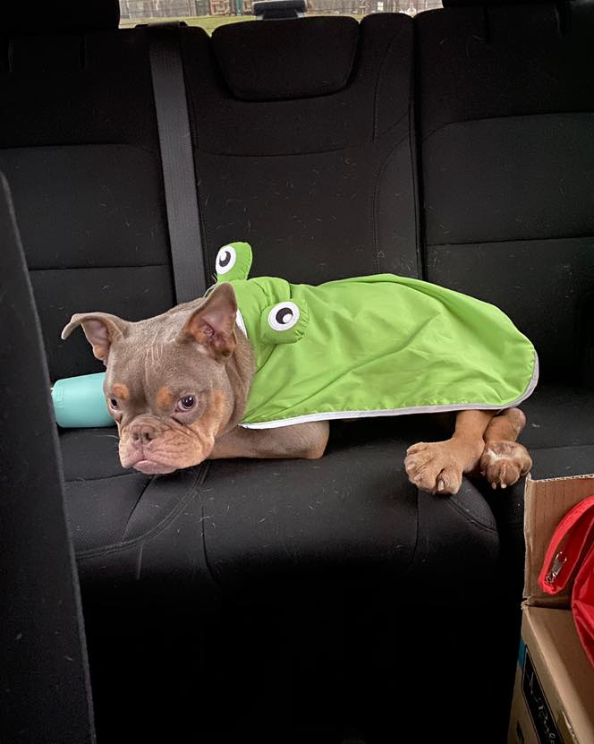 A young American Bully dog wearing a frog cape