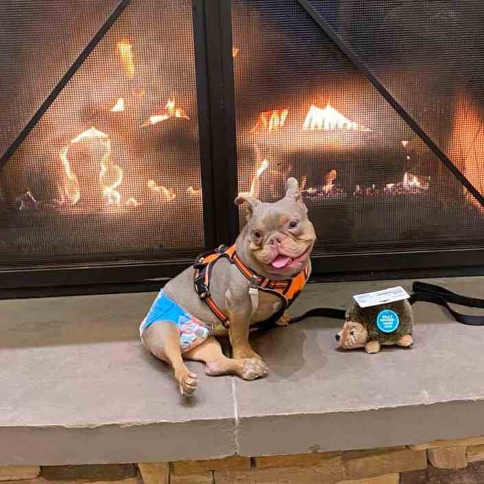 A young American Bully dog sitting in front of a fireplace