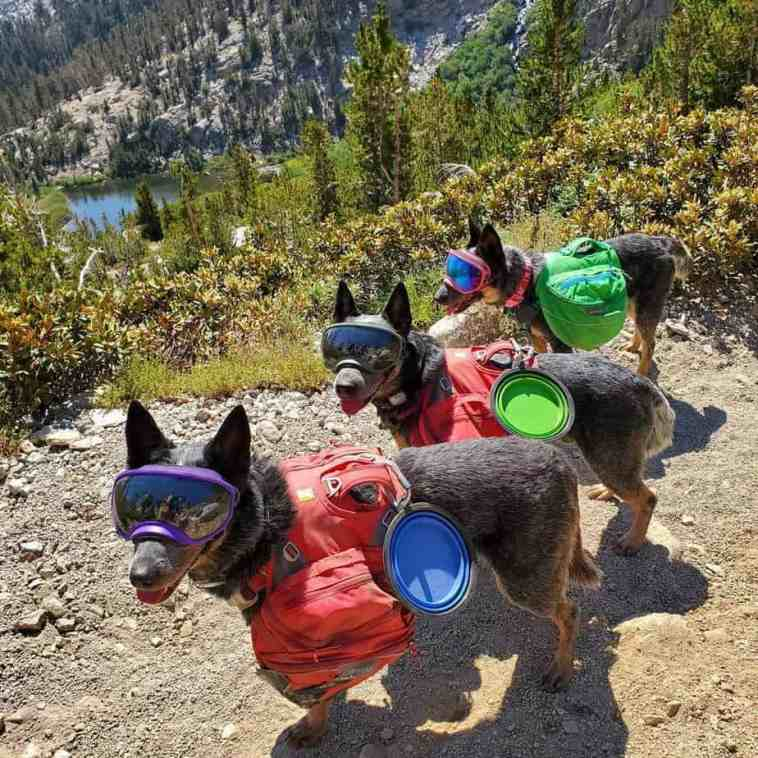 Australian cattle dogs wearing goggles during a hike