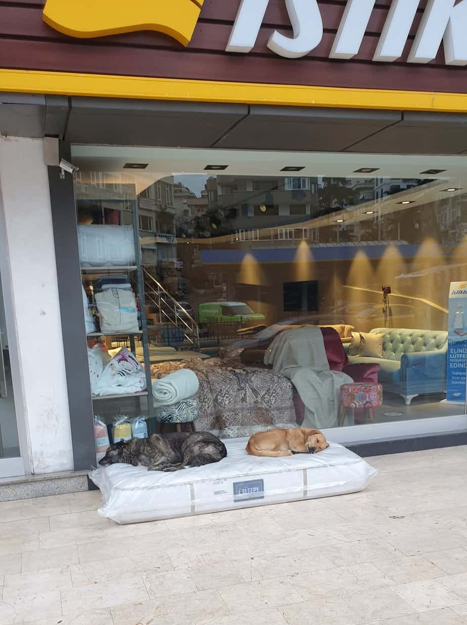 Stray dogs sleeping on a mattress in front of a furniture store in Istanbul